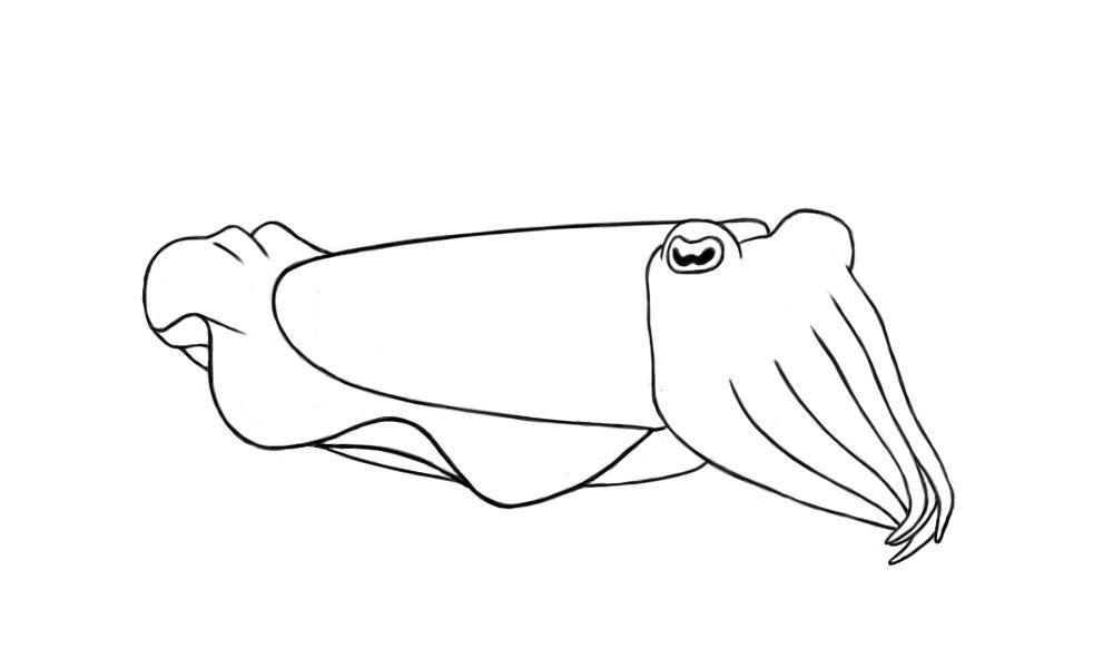 Daily drawing day 57 cuttlefish for Cuttlefish coloring pages